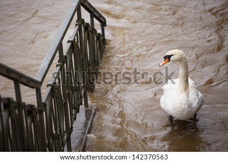 Flood in Prague - swan on the street - stock photo