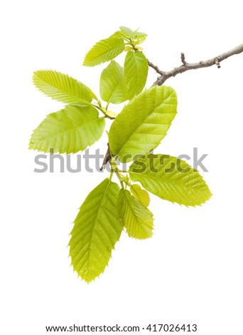Flora of Gran Canaria - sweet chestnut young leaves - stock photo