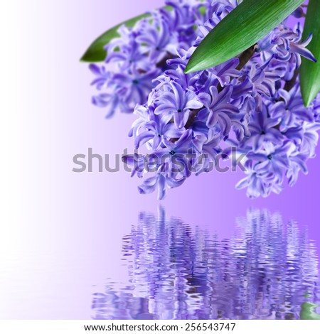 Floral background and a bouquet of hyacinths, with reflection in water - stock photo