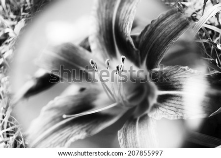 Floral background. Blossoming lily - stock photo