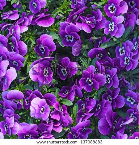 Floral background of blooming purple pansies flowers - stock photo