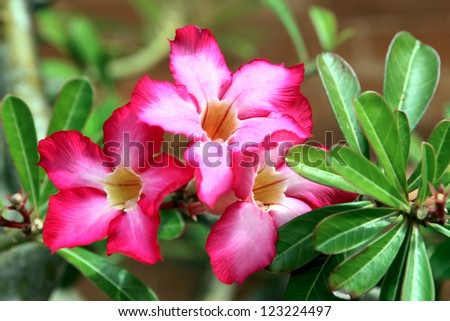 Floral background. Tropical flower Pink Adenium. Desert rose. - stock photo