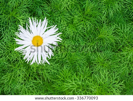 Floral background. White flower. Chamomile with terry petals with green foliage - stock photo