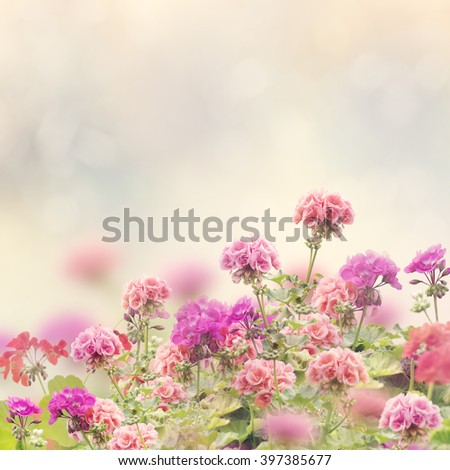 Floral Background with Geranium Flowers - stock photo