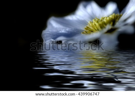 Floral natural background with beautiful wild flower with white petals and yellow mid closeup on the black background with reflection in water - stock photo