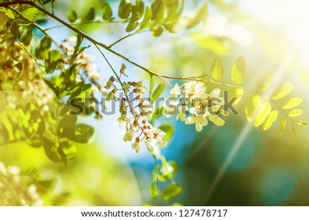 Floral spring background Beautiful white summer or spring acacia flowers on a tree and Sun light - stock photo