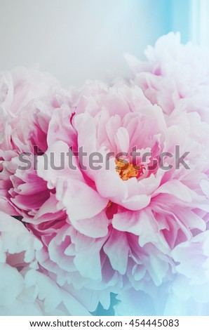 Floral wallpaper, background from flower petals. Trend colors pink and blue. Beauty pink peony, peonies, roses flowers. Bloom love concept. Card, text place, copy space. - stock photo