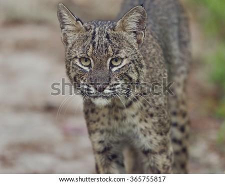 Florida Bobcat,Close Up Shot - stock photo