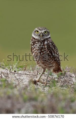 Florida Burrowing Owl staring at the camera. - stock photo