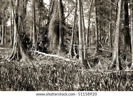 Florida cypress swamp in hi-key sepia tone - stock photo