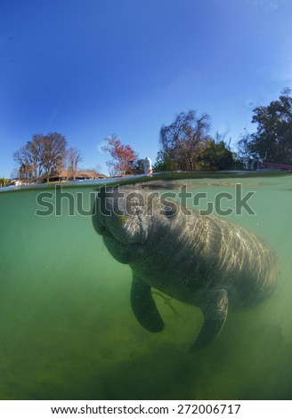 Florida Manatee breathing at surface  - stock photo