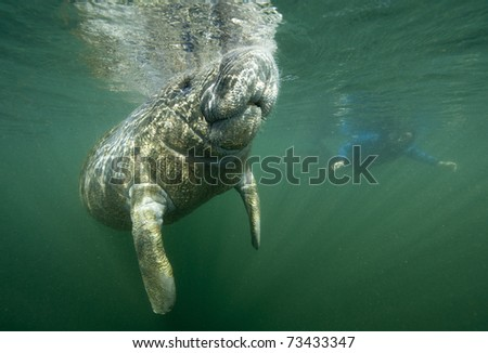 Florida manatee calf takes a breath of air while snorkeler observes - stock photo