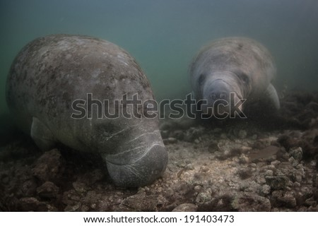 Florida manatees (Trichechus manatees latirostris) are a subspecies of the West Indian manatee. Their population is dangerously low and is mainly in danger from habitat loss and being struck by boats. - stock photo