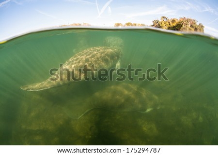 Florida manatees (Trichechus manatus latirostris) rest on the shallow bottom near a freshwater spring in Florida. This marine mammal is endangered and is of great conservation concern. - stock photo