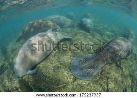 Florida manatees (Trichechus manatus latirostris) sleep on the shallow bottom of a freshwater spring in Florida. This species is endangered and is of great conservation concern to the government. - stock photo