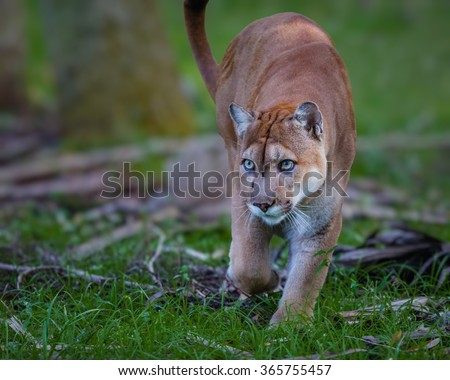 Florida Panther, puma, or cougar, walks through the brush as it stalks its prey-Edit - stock photo