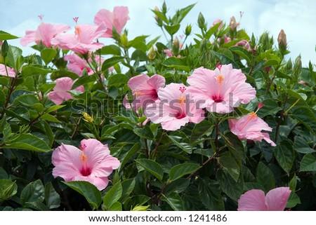 Florida pink Hibiscus blooms - stock photo