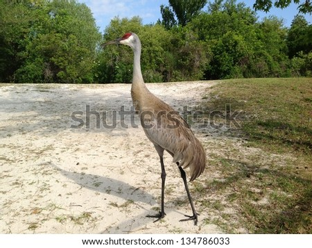 Florida Sandhill Crane - stock photo