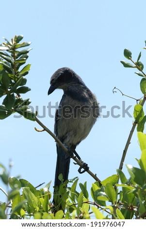 Florida Scrub Jay (Aphelocoma coerulescens) - stock photo