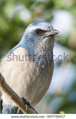 Florida Scrub Jay up close - stock photo