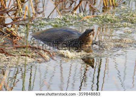 Florida Soft-shelled Turtle (Apalone ferox) basking in a marsh - Viera Wetlands, Florida - stock photo