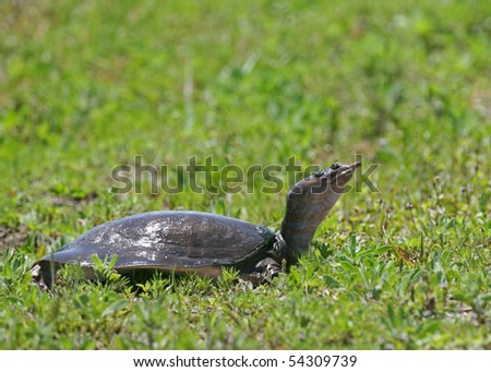 Florida Softshell Turtle in the sun - stock photo