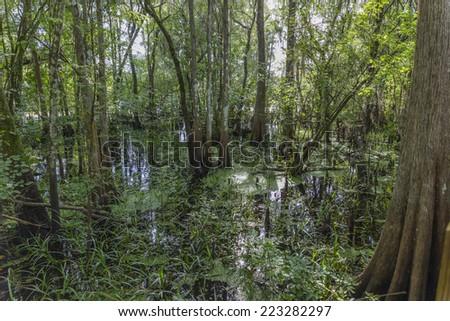 florida swamp - stock photo