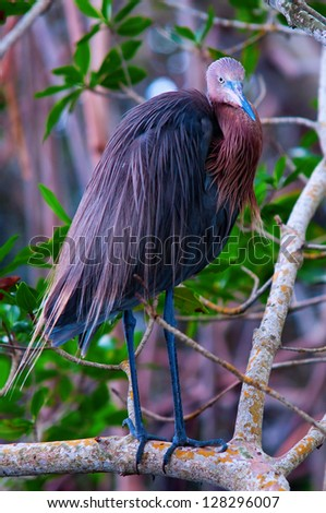 Floridian birdie, thought to be the endangered Tricolored Heron - stock photo