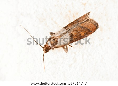 Moth fly stock photos images pictures shutterstock for Pantry moths