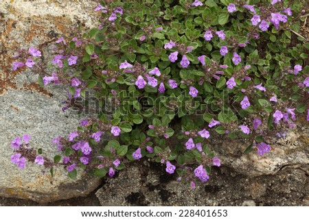 Flourishing thyme herb with pink flowers on the rock background. Swiss Alps, Switzerland - stock photo