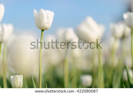 Flower. Amazing white tulip flower & green grass landscape. White flower. white tulip flower Tulip flower. Cute flower Amazing flower. tulips flower Colored flower. Sunny flower Awesome flower Flower - stock photo