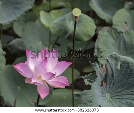 Flower and fruit of the pink Lotus, Nelumbo nucifera,  associated with  purity, spiritual awakening and faithfulness in Buddhism  Flower stems, seeds, rhizomes and petals are all used in food dishes. - stock photo