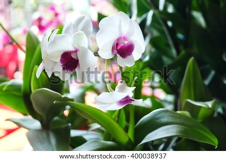 Flower and Plant, Beautiful White Phalaenopsis or Pink Orchid Flower Streak For Garden Decor. Selective Focus - stock photo