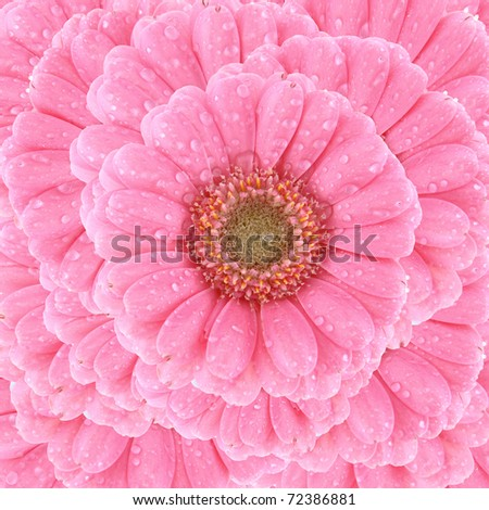 Flower background: Pink Gerbera covered with drops of water - stock photo