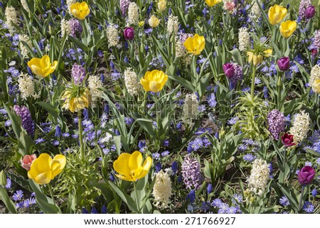Flower bed of various types of colored hyacinths tulips and other flowers - image for background. - stock photo