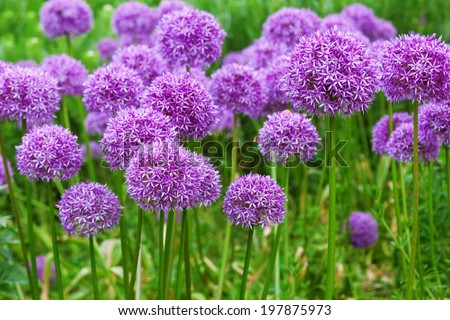 flower bed with Allium flowers - stock photo