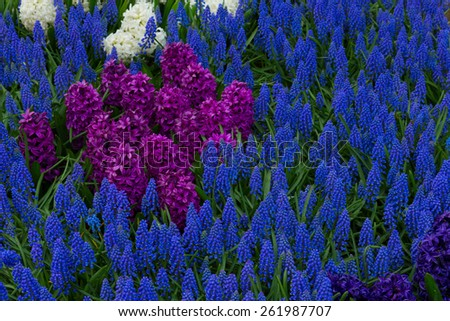flower bed with blue muscari flowers and violet hyacinth - stock photo