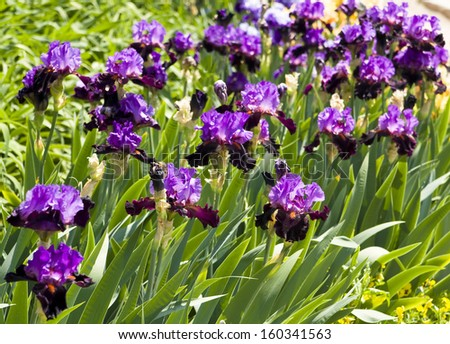 """Flower-bed with many irises of v?ilet and purple colours, sort """"Carl and Sissy"""", collection of Nikitskiy botanic garden in town Yalta in Ukraine. - stock photo"""