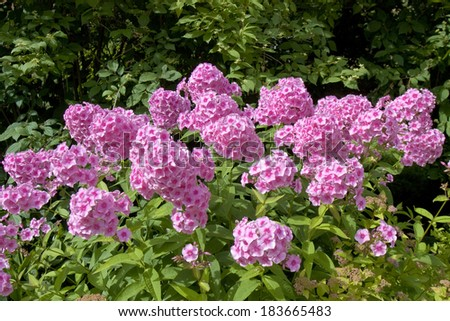 Flower bed with many phloxes of pink colour. - stock photo