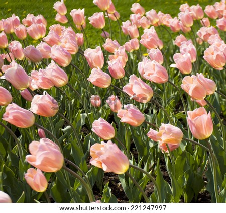 Flower bed with many tulips of pink colour. - stock photo