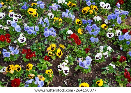 Flower bed with multicolored pansies - stock photo