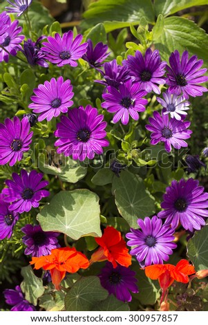 Flower bed with variety of freshly grown purple and red flowers and greenery - stock photo