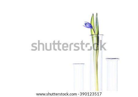 Flower (bluebells) in a test tube isolated on white background. Scientific Experiment. Blue snowdrop flowers in a glass vase. Spring still life with bluebells. Siberian squill or Scilla siberica. - stock photo
