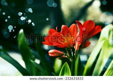 Flower Bouquet of Lily Clivia close up card on dark background, spring summer bloom - stock photo