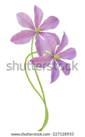 flower branch: purple clematis blooming - stock photo