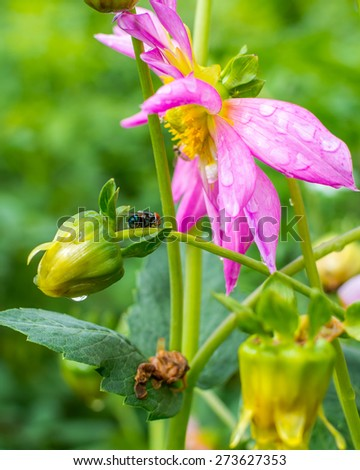 Flower bud after rain and a bee on it with blurry green background - stock photo