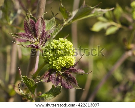 Flower buds and leaves of red elderberry, Sambucus Racenosa, on branch with bokeh background macro, selective focus, shallow DOF - stock photo