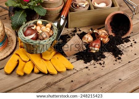 Flower bulbs, pots on wooden table  - stock photo