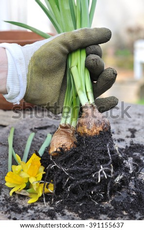 flower bulbs unearthed holding by  a gardener hand - stock photo