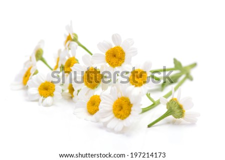 Flower camomile - stock photo